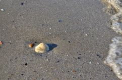 Одна раковина белого моря на пляже Стоковое фото RF