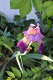 Одна совершенная фиолетовая радужка выделила солнечностью растя среди много зеленых растений в тенистой области стоковое фото rf