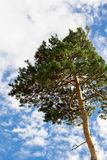 Одна сосна кедра дерева кедра против голубого неба с backg облаков Стоковые Фото