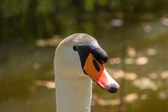 Одна часть головы и шеи белого лебедя и запачканной предпосылки Стоковая Фотография