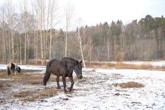 Одна черная лошадь в снеге стоковая фотография rf