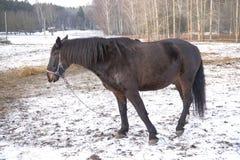 Одна черная лошадь в снеге стоковое фото rf
