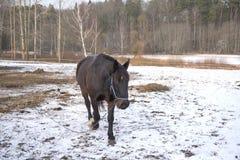 Одна черная лошадь в снеге стоковые изображения