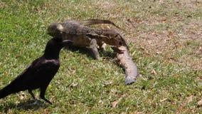 Одна ящерица и ворона монитора сток-видео