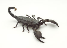 однокачественный скорпион Стоковое фото RF