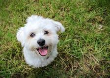 Одно белое малое положение собаки Стоковые Изображения RF