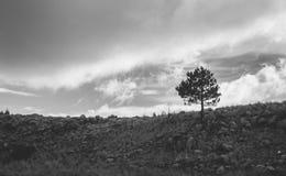 Одно дерево в черно-белом стоковое фото