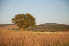 Одно дерево стоит в ландшафте поля Стоковая Фотография RF