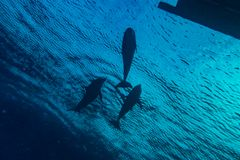 Одно заплывание дельфина с водолазами в Красном Море стоковое фото