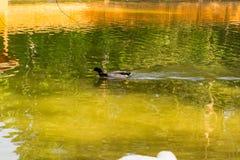 Одно заплывание кряквы дикой утки Стоковое Изображение