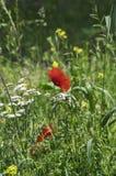 Одно красное цветение мака и общий тысячелистник обыкновенный Стоковое Изображение RF