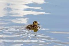 Одно милое заплывание утенка в пруде с отражениями неба Стоковые Фотографии RF