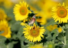 Одно общее cannabina Linaria коноплянки сидит на голове солнцецвета Стоковое Фото