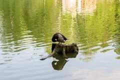 Одно посадочные места кряквы дикой утки на пне Стоковое Фото