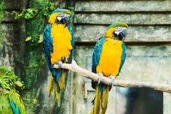 Одно сине-и-желтое ararauna сидя на ветви, fo ara ары Стоковые Фотографии RF