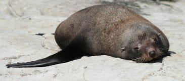Одно уплотнение шерсти лежа на утесе Стоковое Фото