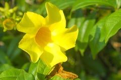 Одно цветене золотой трубы в утре стоковые фото