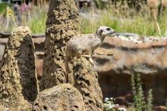Одно surikata на предохранителе на утесе Стоковые Изображения