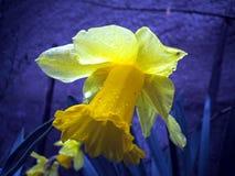 одолженная лилия Стоковое Фото