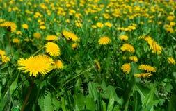 одуванчики field желтый цвет Стоковые Изображения RF