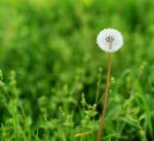Одуванчик в поле зеленого цвета стоковое изображение rf