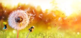 Одуванчик в поле на заходе солнца стоковая фотография rf