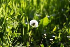 Одуванчик в природе Стоковые Фото
