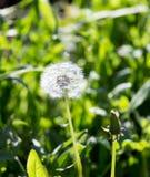 Одуванчик в природе Стоковое Фото