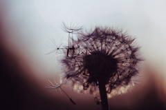 Одуванчик в темном цвете стоковые фотографии rf