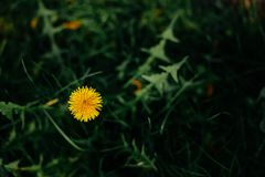 Одуванчик в траве - фото цветков летом стоковые фото