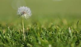 Одуванчик в траве стоковое изображение