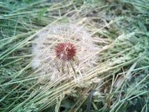 Одуванчик в траве Стоковое фото RF