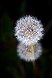Одуванчик в цветени - Close-up Стоковое Изображение