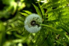 Одуванчик зацветая день field лето sally цветка fireweed сельское Стоковые Изображения RF