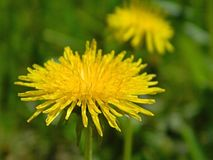 Одуванчик и трава Стоковые Фото