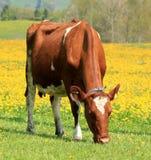 одуванчик коровы есть поле Стоковые Изображения