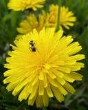 одуванчик крупного плана муравея Стоковые Изображения RF