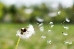 Одуванчик на ветре Пушок одуванчика Abstr одуванчика спокойный Стоковые Фотографии RF