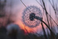 Одуванчик на заходе солнца Стоковые Фото