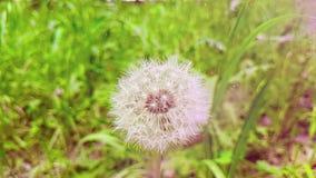 Одуванчик на предпосылке зеленой травы, концепция мягко белого цветка весны приходит, движение замедленного движения с теплым све видеоматериал