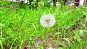 Одуванчик на предпосылке зеленой травы, концепция мягко белого цветка весны приходит, замедленное движение сток-видео