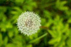 Одуванчик на природе, предпосылке зеленой травы Одуванчик, одиночный цветок, цветок скопируйте космос Стоковое фото RF