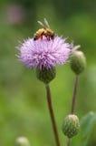 одуванчик пчелы Стоковое Изображение RF