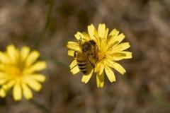 одуванчик пчелы Стоковые Фотографии RF