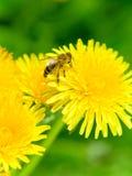 одуванчик пчелы Стоковое Фото
