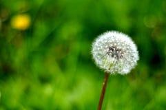 одуванчик цветений стоковая фотография