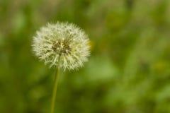 одуванчик цветения в прошлом Стоковые Фотографии RF
