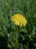 Одуванчик цветет весной Стоковое фото RF