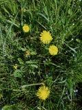 Одуванчик цветет весной Стоковое Фото