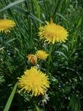 Одуванчик цветет весной Стоковые Изображения